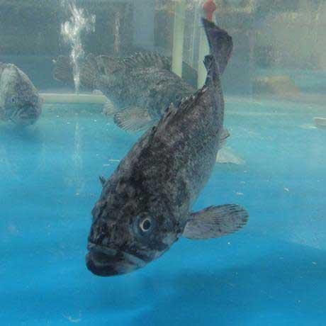 精品石斑鱼