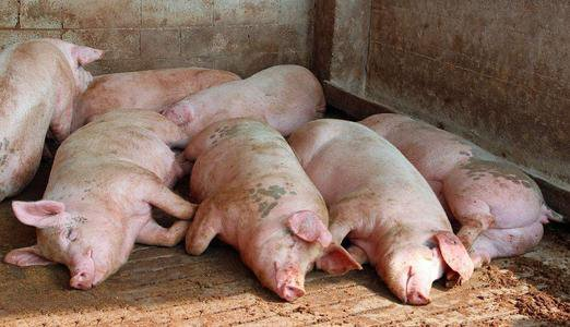 养猪盈利水平向好!农村农业部:专家初步预计下半年猪肉价格同比或涨超70%