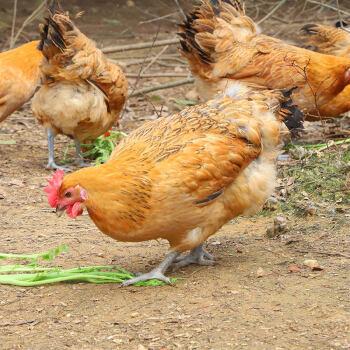 田野尽头 散养土鸡